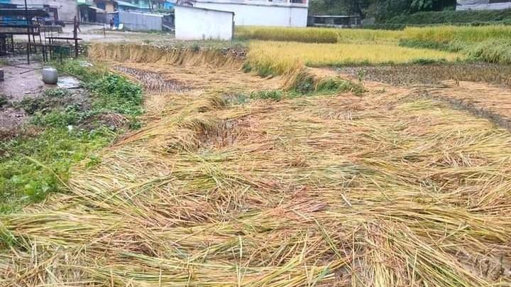 धान भित्र्याउने बेला लगातार वर्षा भएपछि किसान चिन्तित